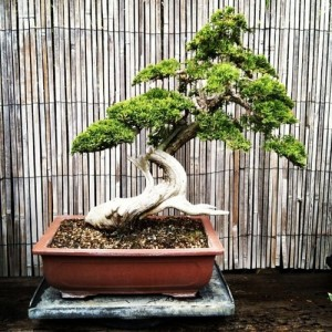 A Little Blurb About Bonsai