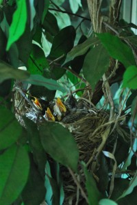 Birds Find New Home in Artificial Ficus Tree