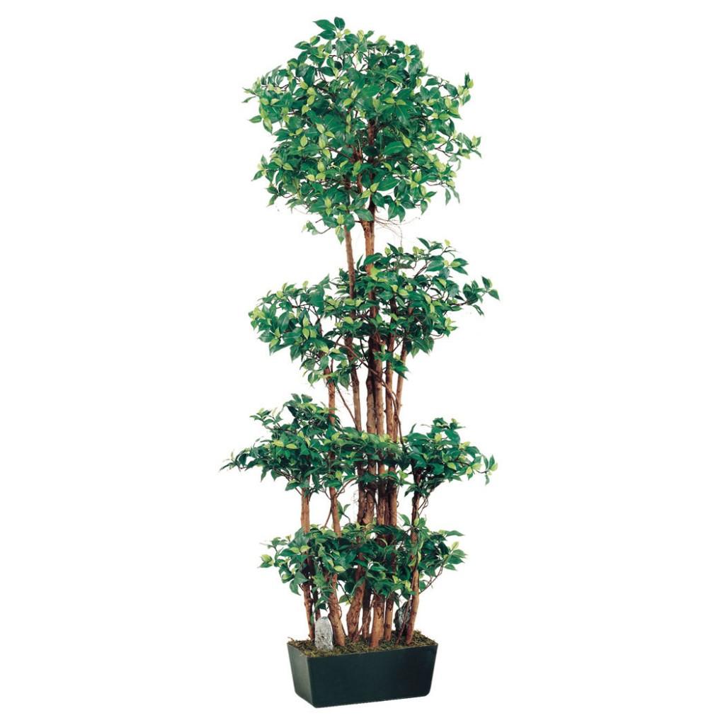 6 Foot Ficus