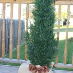 Burlap Wrapped Cedar Tree