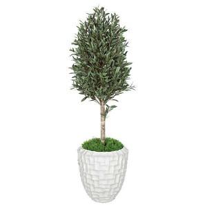 5 Foot Olive Tree