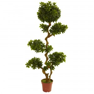 5 Foot Pittosporum Tree