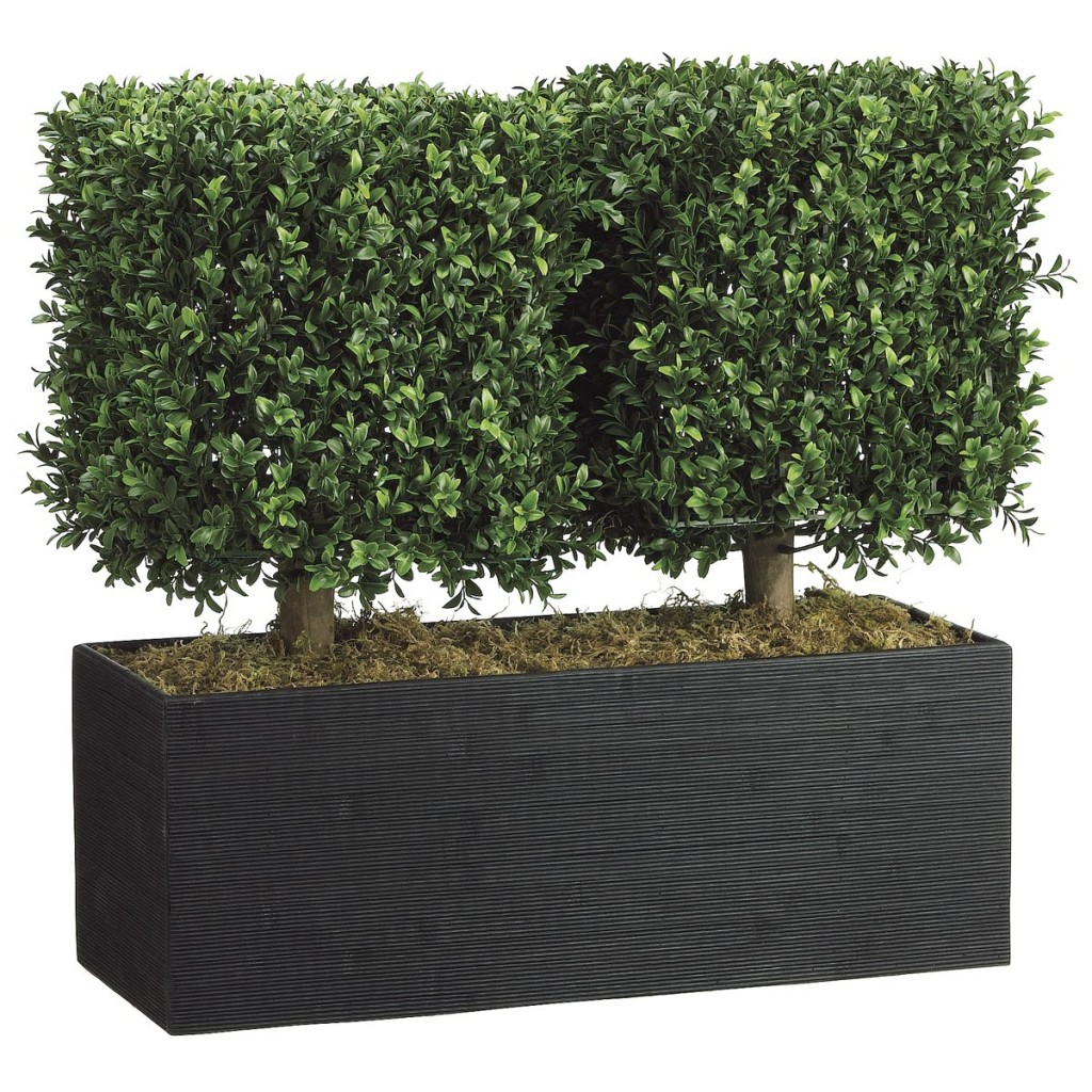 Boxwood Hedge in Container