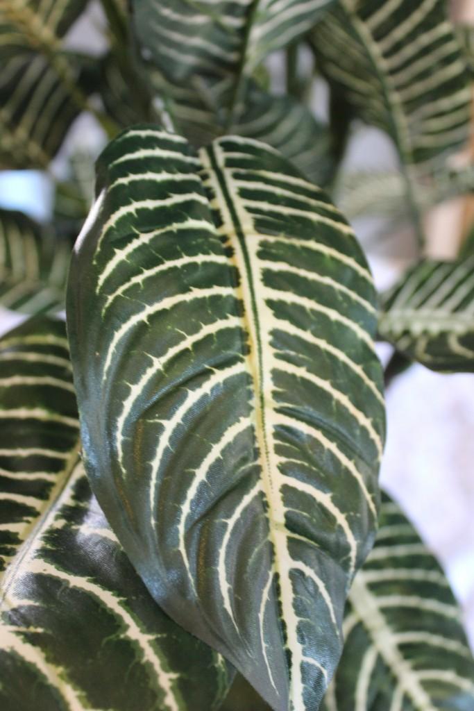 3-Foot Zebra Plant