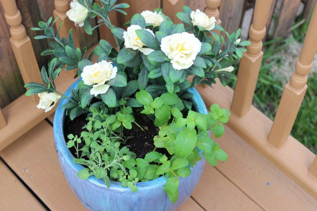Herb & Azalea Planter