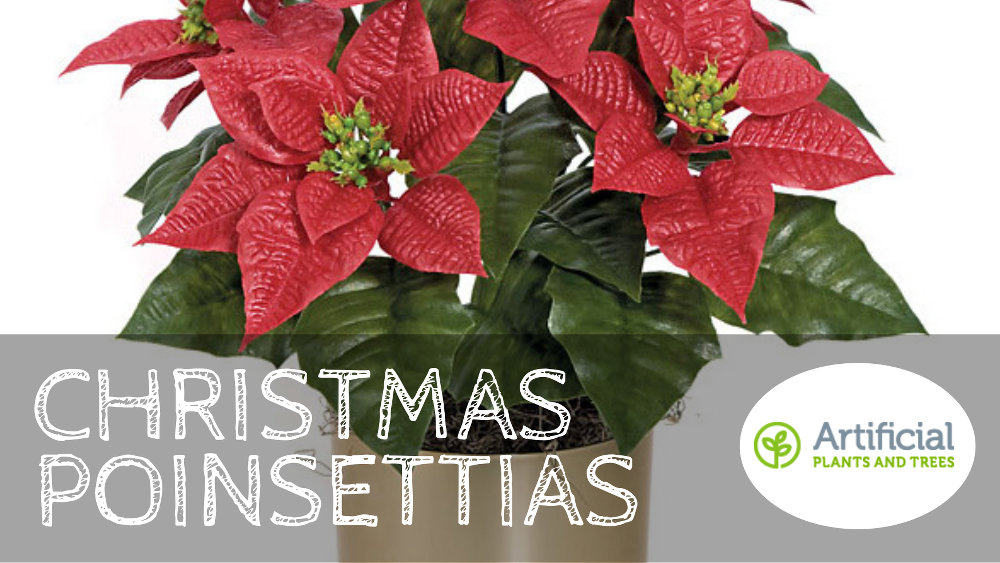 christmas-poinsettias