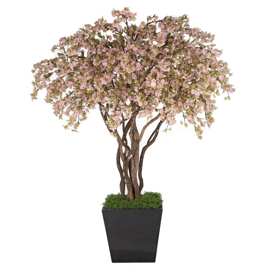 Tasteful Cherry Blossom Tree Potted Product Photo
