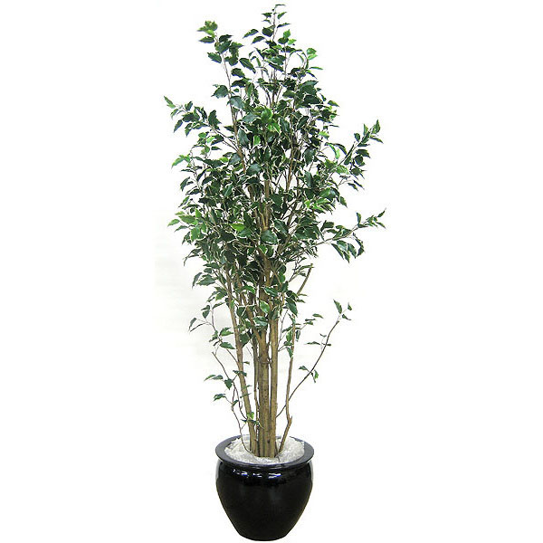 6 foot Deluxe Variegated Hawaiian Ficus: Potted P-2295