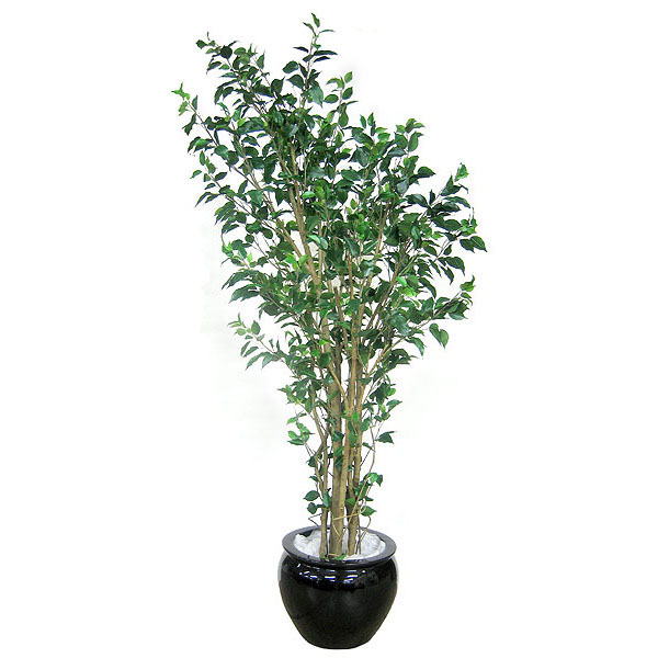 6.5 foot Deluxe Ficus: Potted P-2291