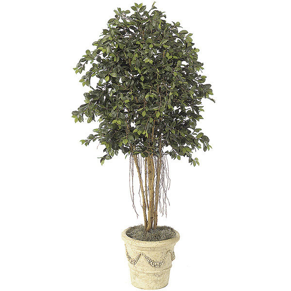 6.5 foot Ficus Tree with Roots: Potted W-2610