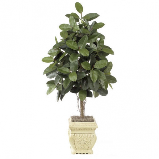 Slim Logo 6 Foot Rubber Tree Potted