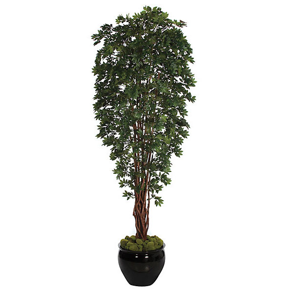 Reliable Lychee Tree Potted Product Photo