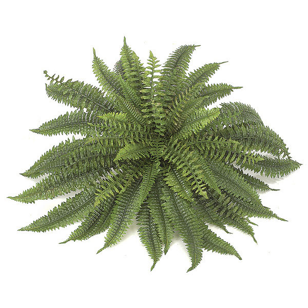 45 inch boston fern: unpotted | p-3350