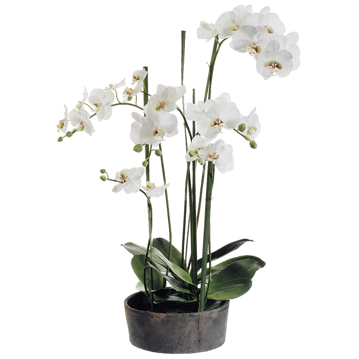 View Phalaenopsis Orchid Plant Clay Pot Product Photo
