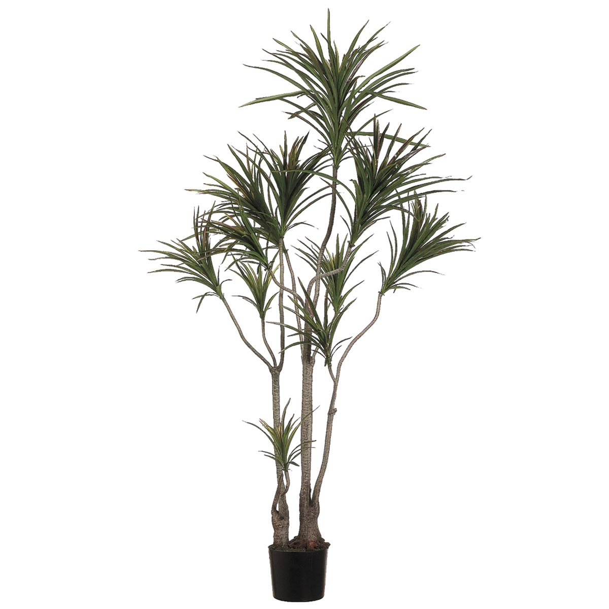 6 foot outdoor dracaena marginata tree limited uv for Dracaena marginata