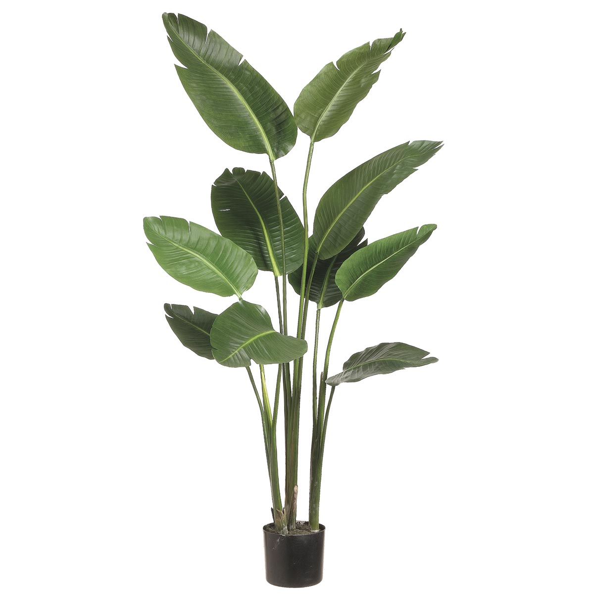 5 foot Bird of Paradise Plant: Potted | LTB605-GR