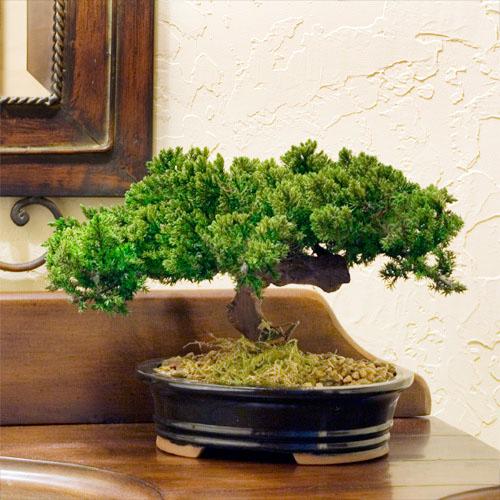 Bonzai Tree preserved single monterey bonsai   mbo008-fga