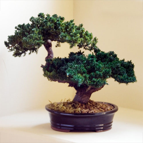 12 inch preserved double monterey bonsai bonsai tree office table