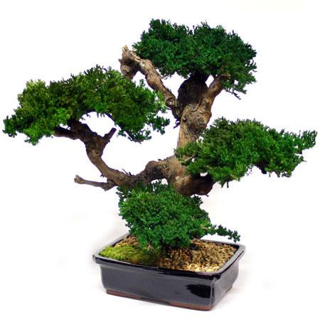 Choose Preserved Monterey Bonsai 5 2211