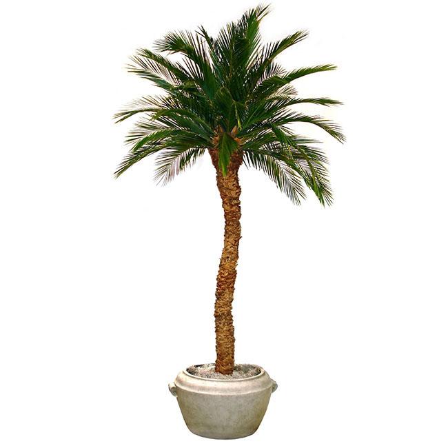 Choose Preserved Single Trunk Aloe Palm Tree 1 199