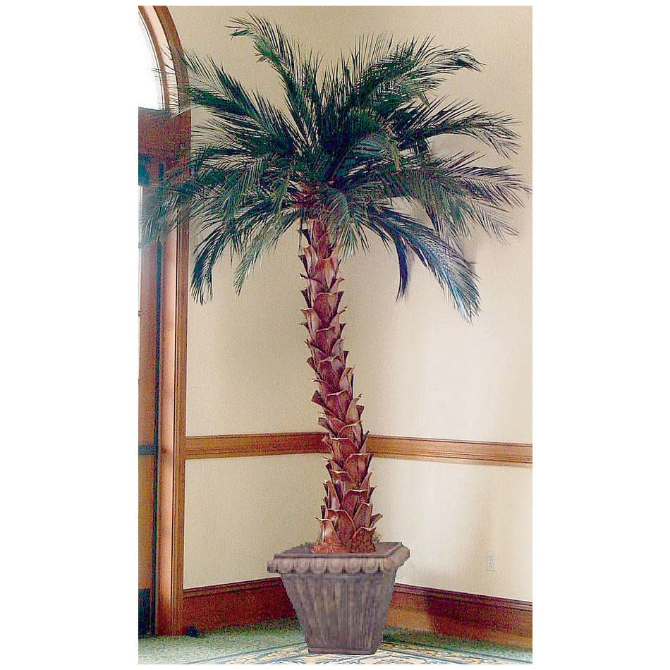 Choose Preserved Date Palm Tree 2 6