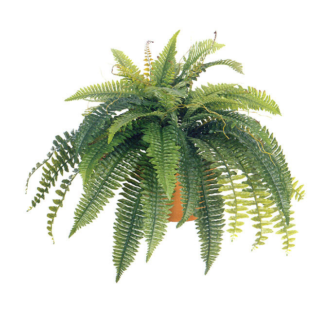 36 inch self shaped boston fern: unpotted | 6032