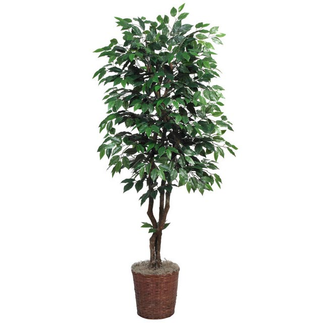 6 foot Artificial Deluxe Ficus Tree with Natural Trunks: Potted 4095