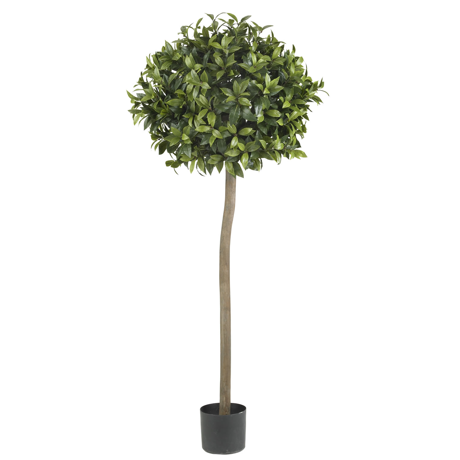 Foot sweet bay ball topiary tree potted 5310