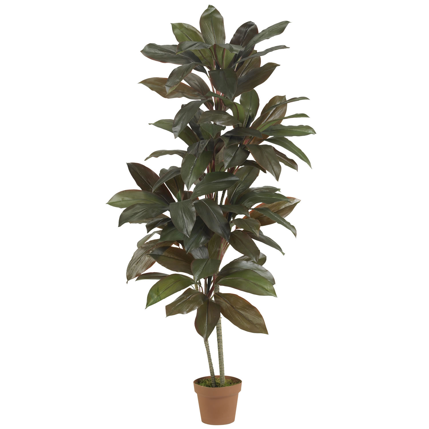 5 foot Cordyline Plant: Potted | 6580