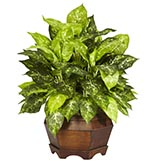24 inch Variegated Dieffenbachia in Large Hexagon Planter