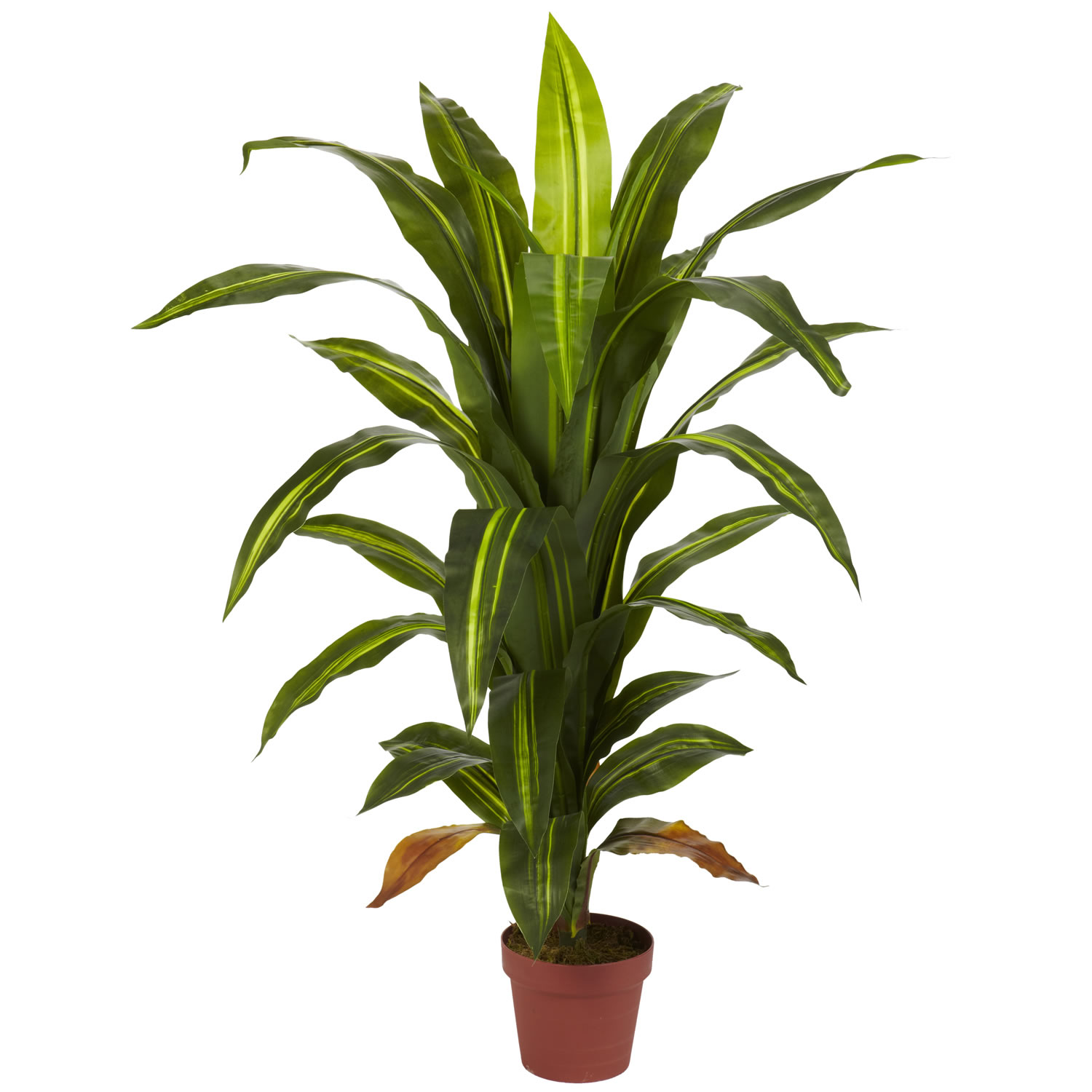 4 foot dracaena plant potted 6650 for Plante dracaena