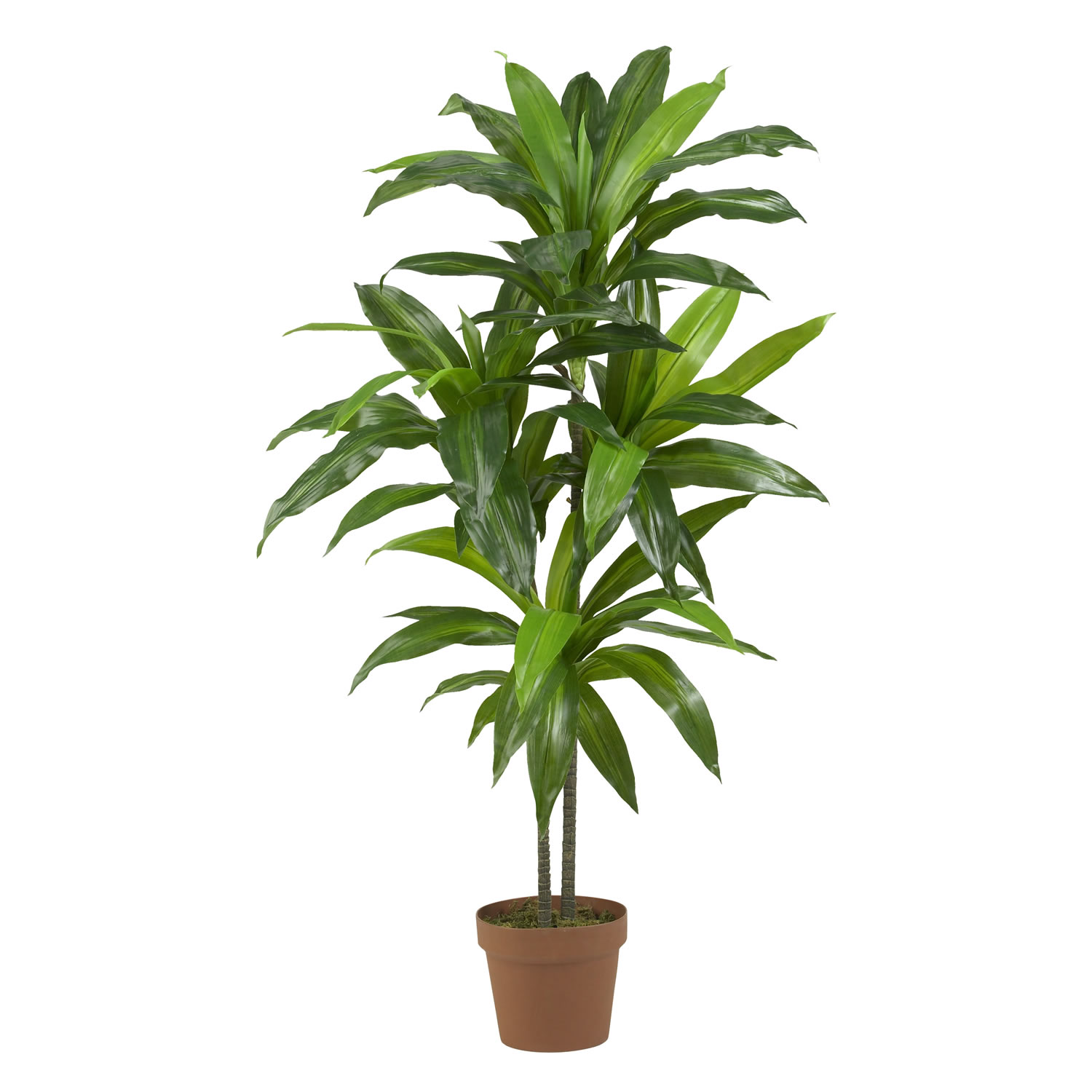 48 inch dracaena tree potted 6585 for Plante dracaena
