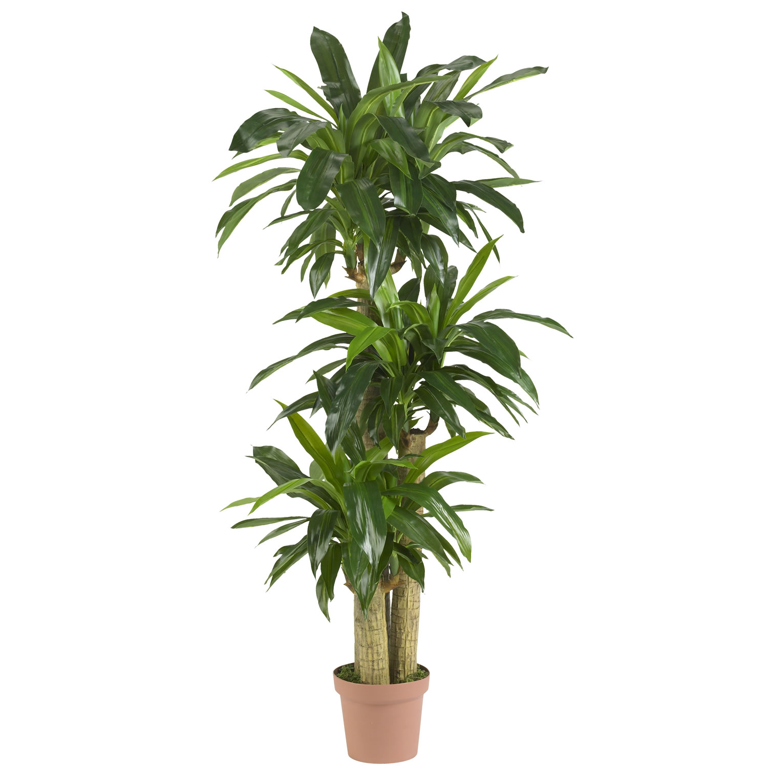 57 inch corn stalk dracaena potted 6584 Tall narrow indoor plants