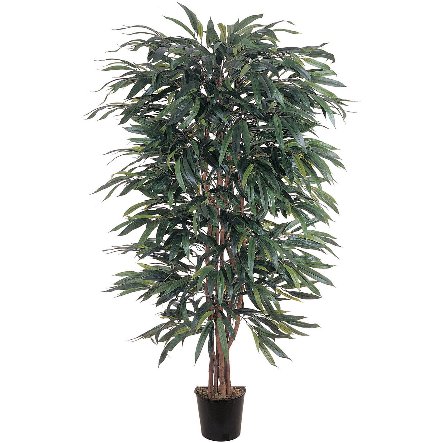 5 foot Weeping Ficus Tree: Potted 5018