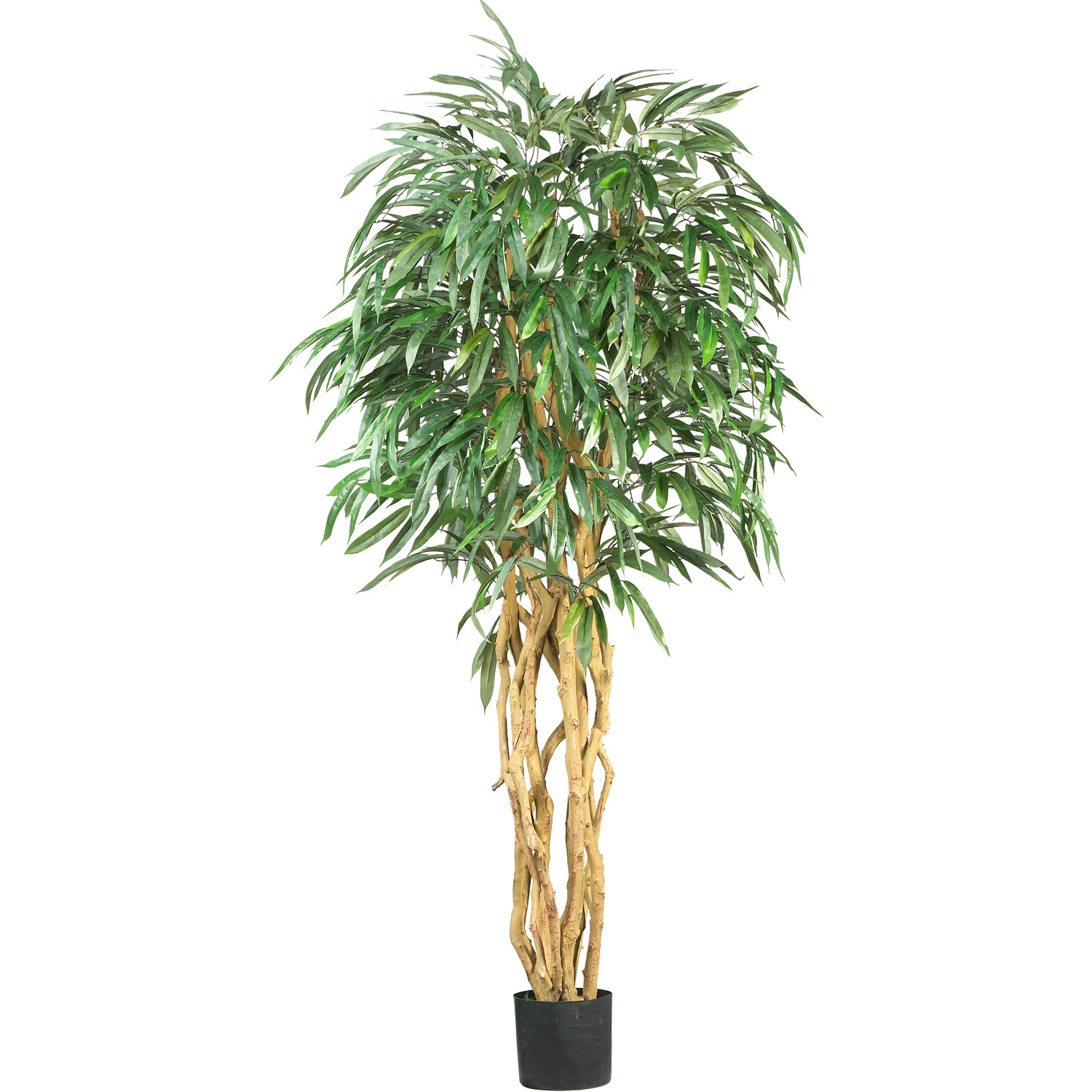 6 foot Weeping Ficus Tree: Potted 5213