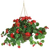 24 inch Red Geranium in Hanging Basket