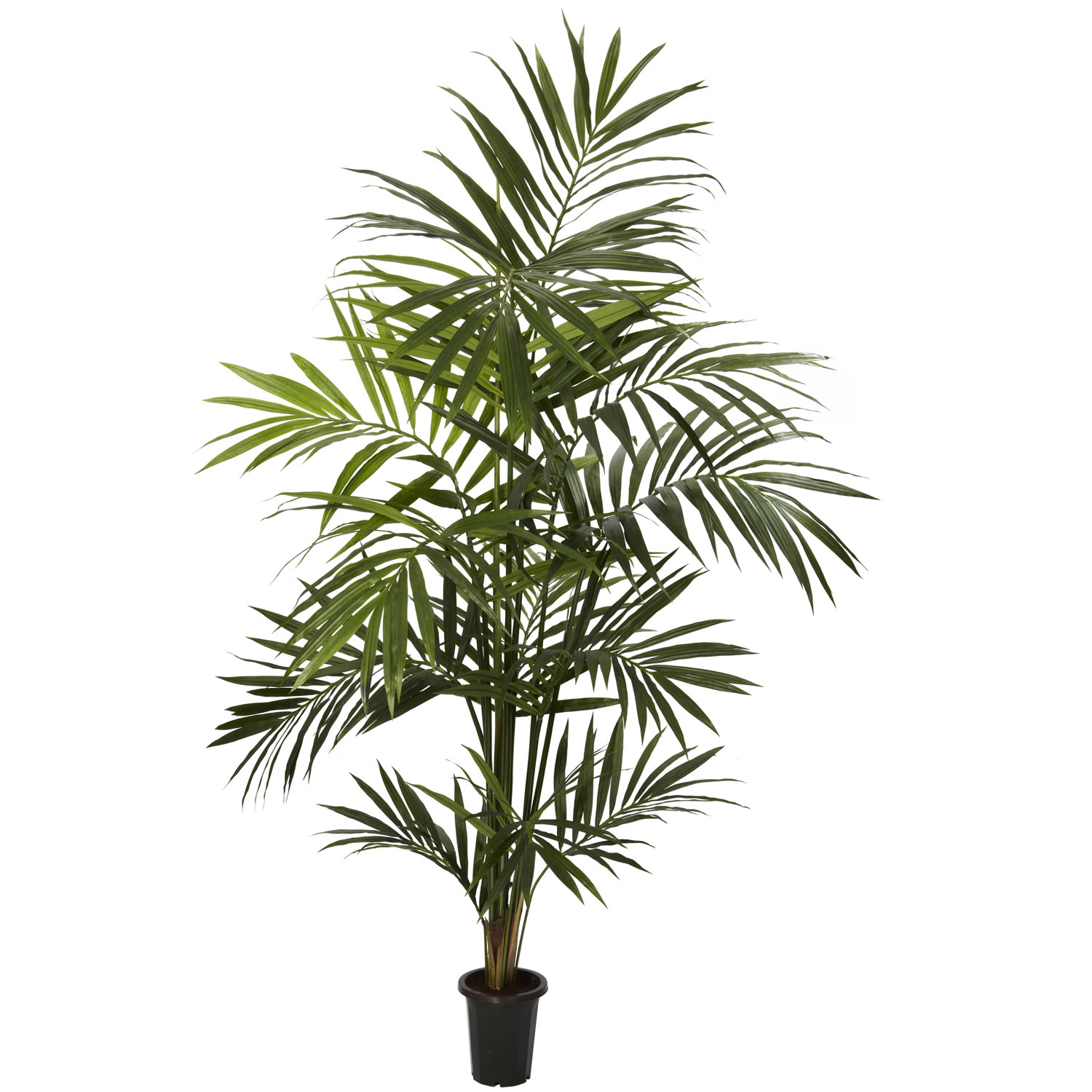 Preserved cypress bonsai 7 h contemporary phoenix by botanical - 7 Foot Kentia Palm Tree Potted