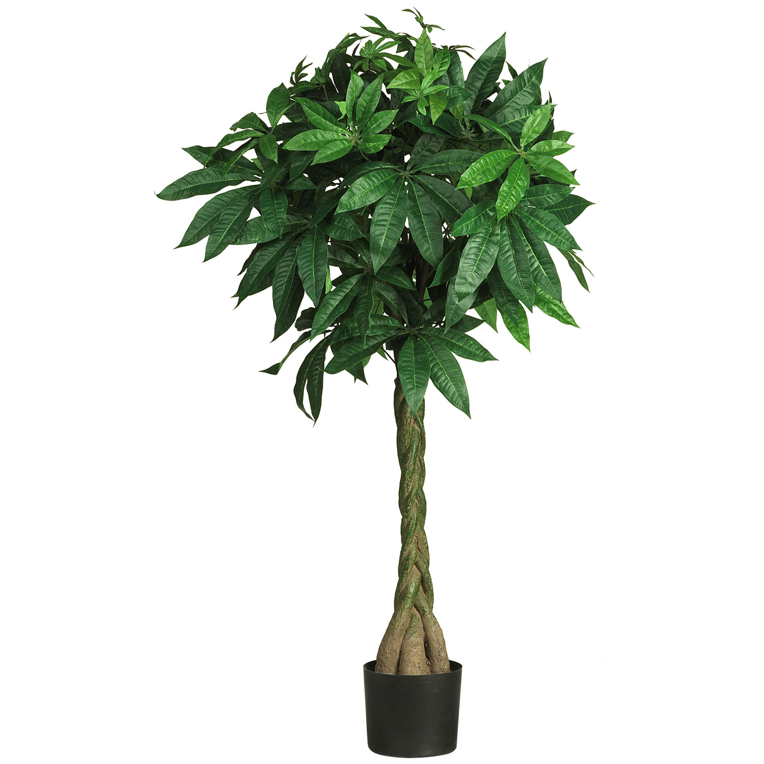 Inch money tree potted