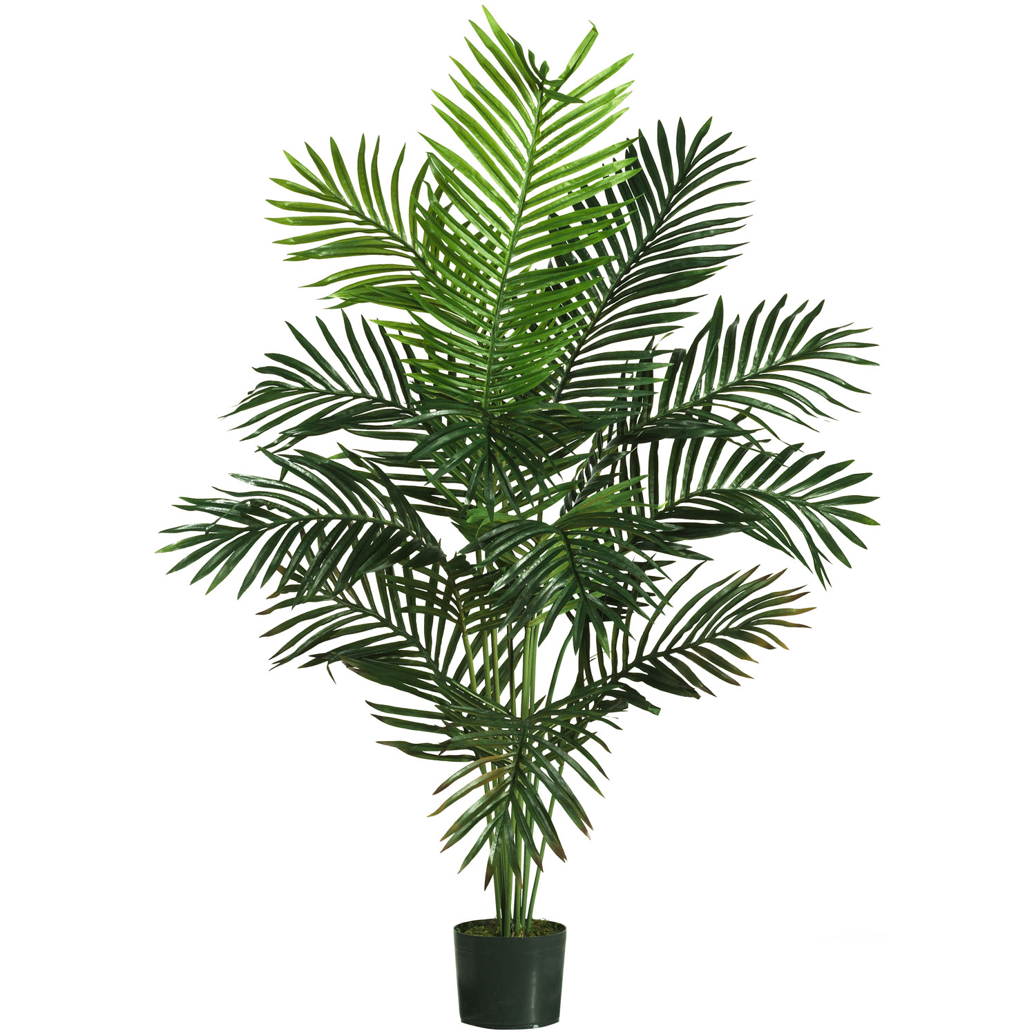 foot Paradise Palm: Potted  5259