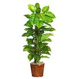 63 inch Large Leaf Philodendron in Basket