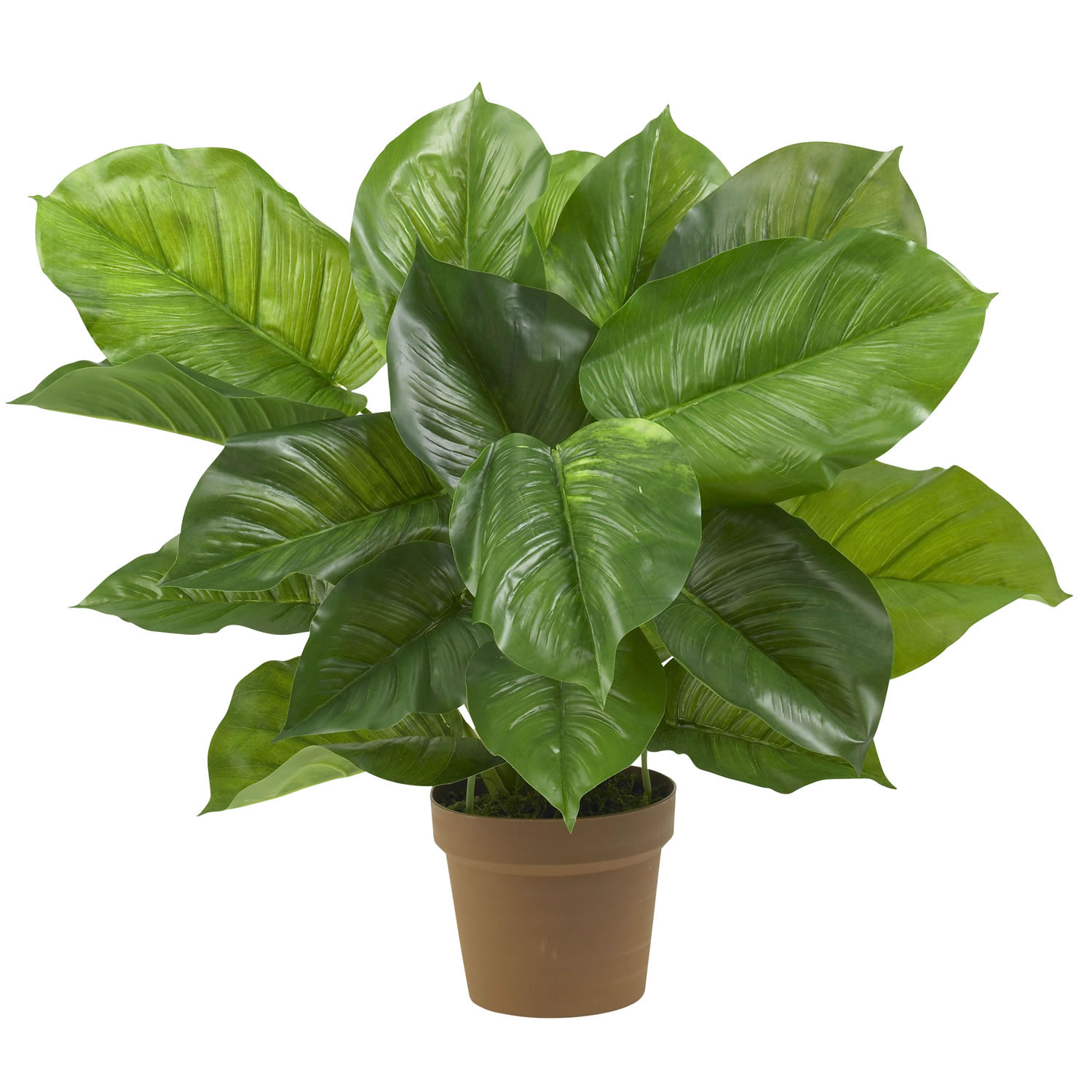 27 inch large leaf philodendron potted 6582 for Large garden plants