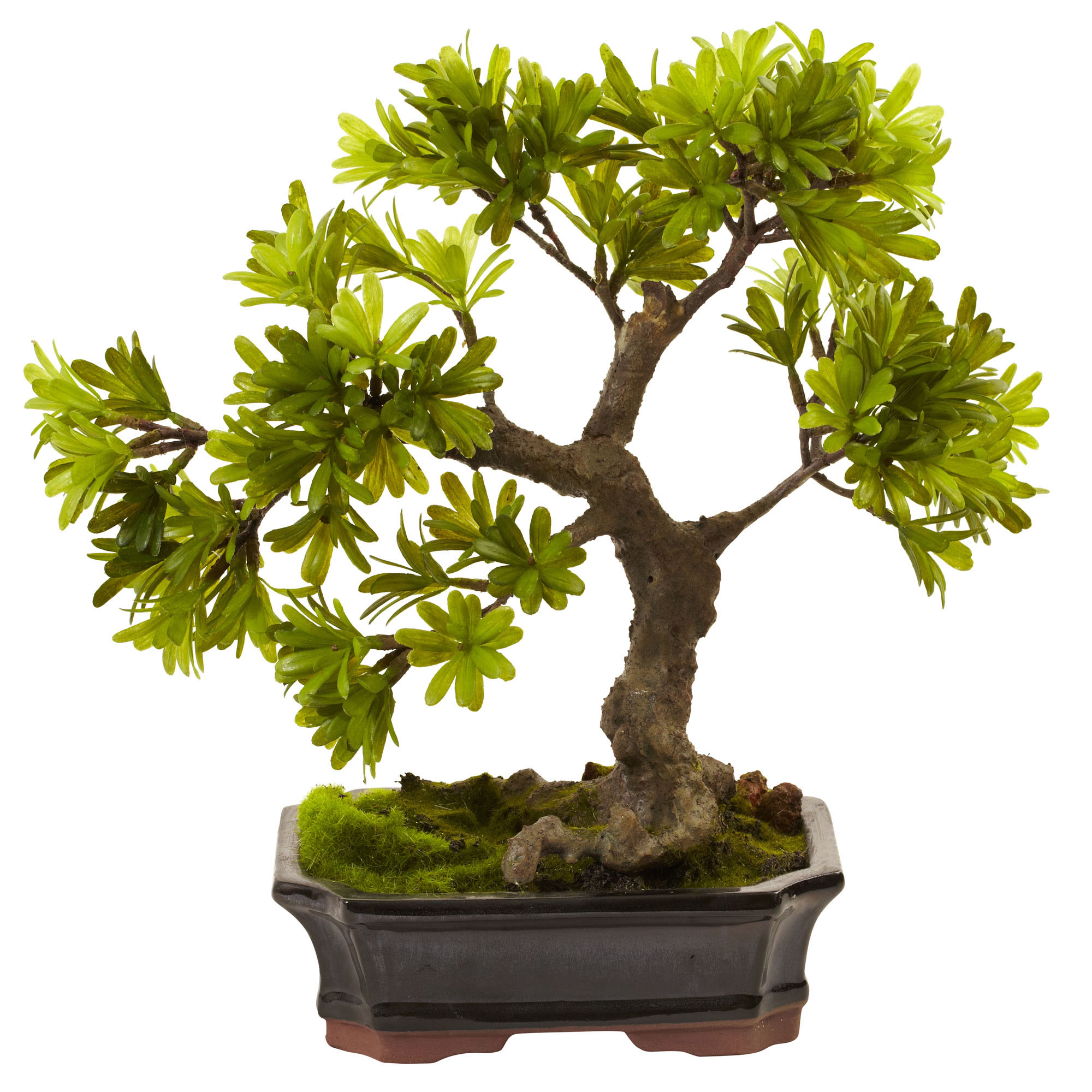 Preserved cypress bonsai 7 h contemporary phoenix by botanical - 14 Inch Indoor Silk Podocarpus In Mossed Base In Bonsai Planter