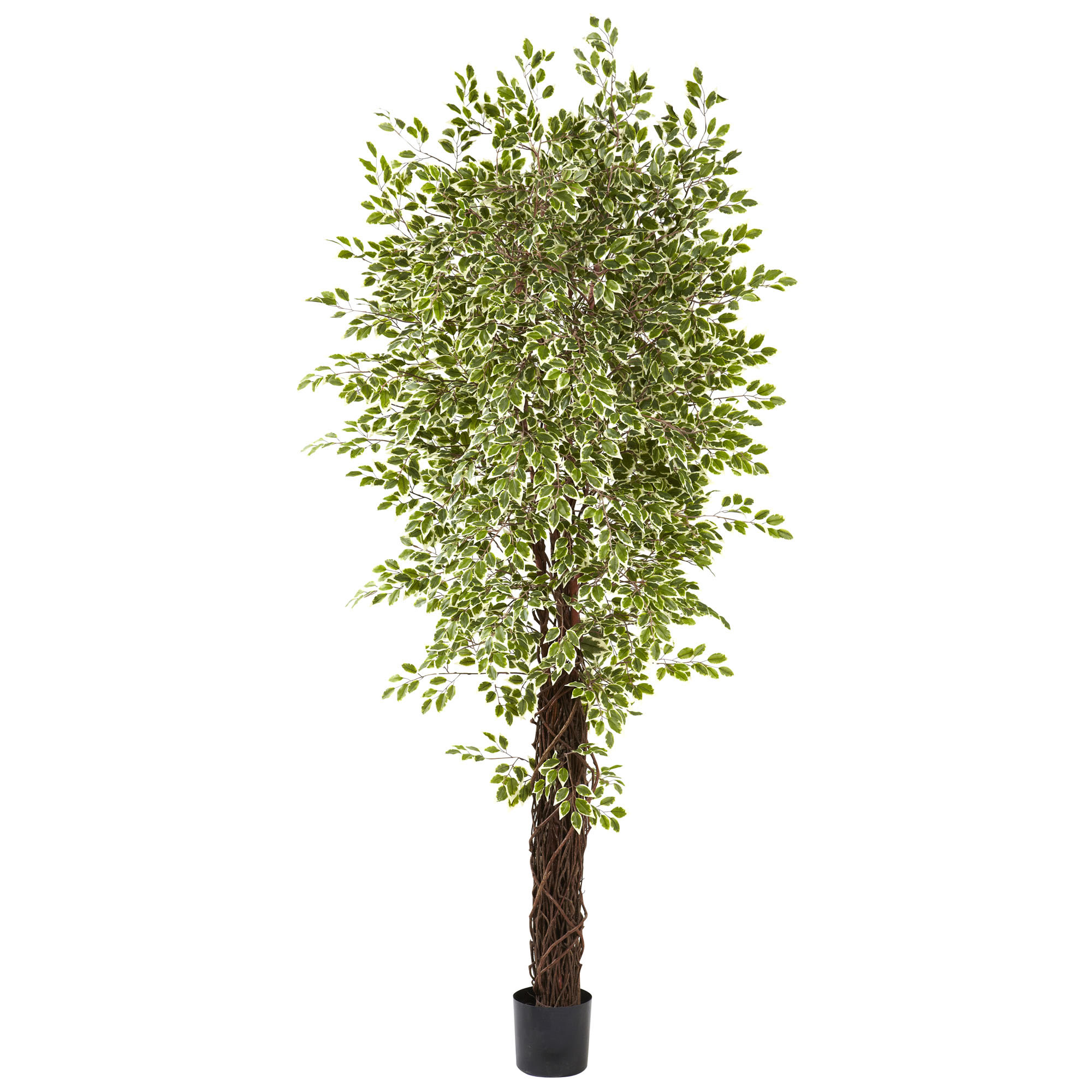 Serious Indoor Variegated Silk Mini Ficus Trees Potted Product Photo
