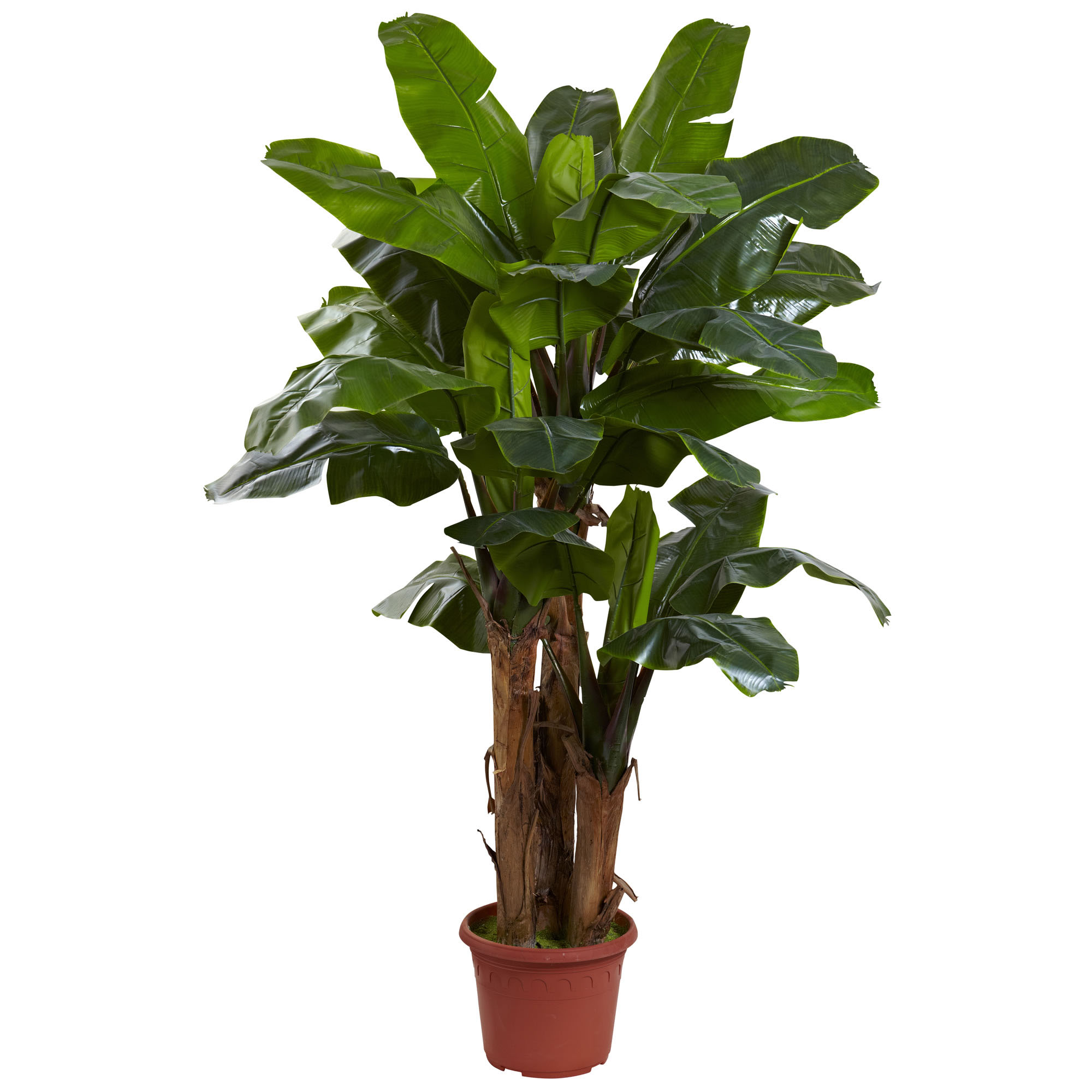 7 Foot Giant Outdoor Triple Stalk Banana Tree Limited Uv
