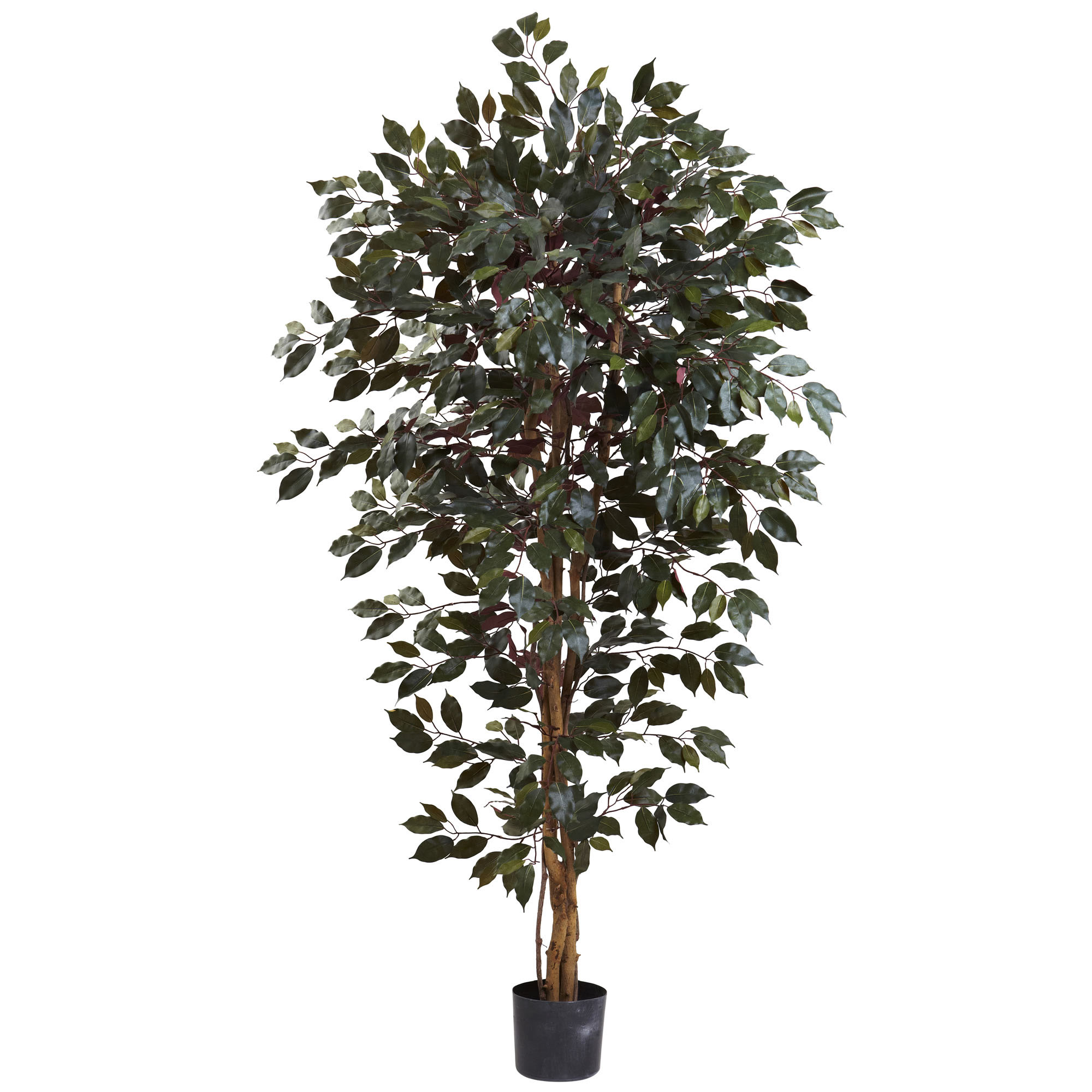 6 foot Indoor Silk Capensia Ficus Tree with 3 Trunks: Potted 5436