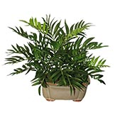 16 inch Chammaedorea Plant in Ceramic Pot