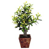 18 inch Codiacum Plant in Pottery Pot