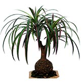 15 inch Burgundy-Green Bottle Dracaena Plant