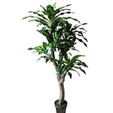 5 foot Dracaena Plant: Potted