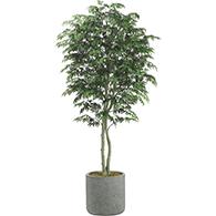 ming aralia trees - Silk Trees